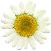 mini daisy pressed flower