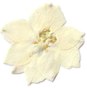 White Larkspur pressed flower